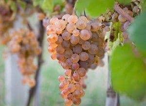 Foto grappolo uva bianca