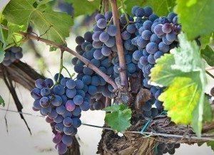 Foto grappoli uva rossa