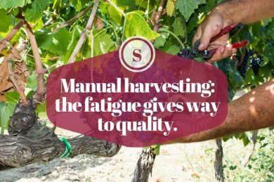 Manual harvesting: the fatigue gives way to quality