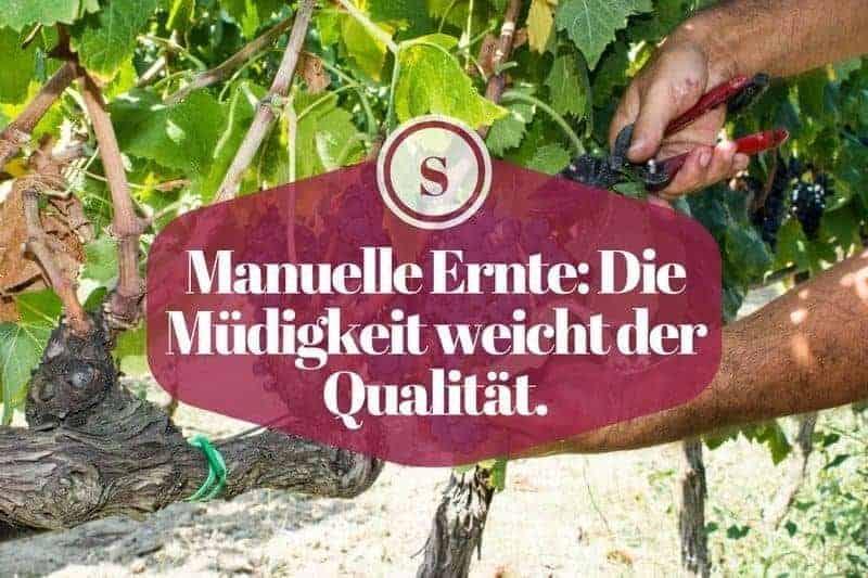 Manuelle Ernte: Die Müdigkeit weicht der Qualität